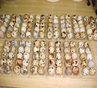 Quail eggs and Quail brids at affordable prices.